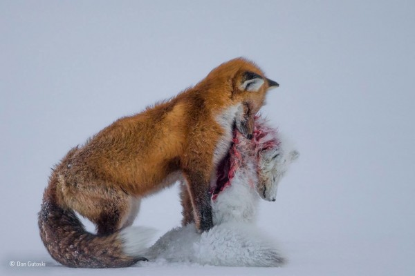 Don Gutoski (Canada), A tale of two foxes Wildlife Photographer of the Year 2015, Categoria Mammiferi, Vincitore assoluto