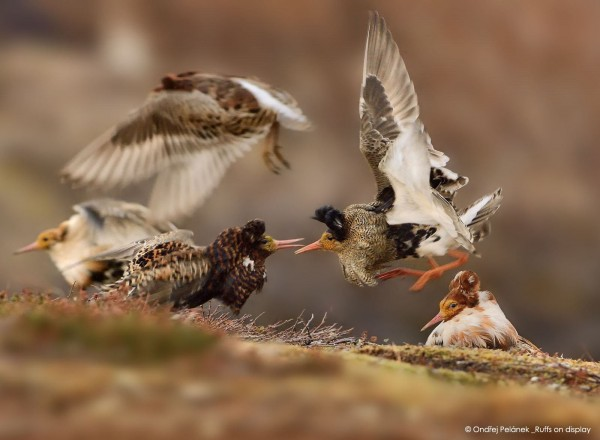© Ondřej Pelánek (Repubblica, Ceca), Ruffs on display Wildlife Photographer of the Year 2015, Categoria 11-14 anni, Vincitore assoluto